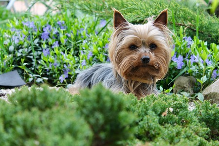 Yorkshire Terrier in the background of a garden and green bushes Reklamní fotografie