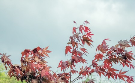 Decorative red Maple on the sky background