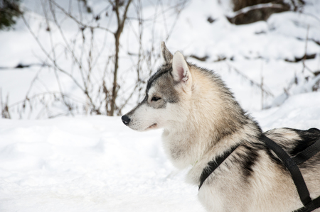 sled dog: Portrait of siberian husky sled dog at snowy winter