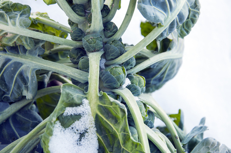 covered in snow: brussels sprouts on field covered snow Stock Photo