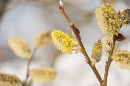 salix: Pussywillow branches  (Salix caprea) in early spring nature. Pussy-willow branch and Blue Sky macro. Stock Photo