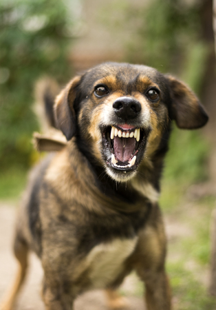 enraged: Enraged aggressive, angry dog. Grin jaws with  fangs  ,  hungry,  drool. Stock Photo