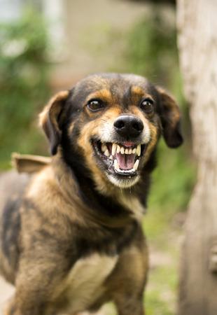 Cane aggressivo, arrabbiato infuriato. Sorridi le mascelle con le zanne, affamato, sbavando.