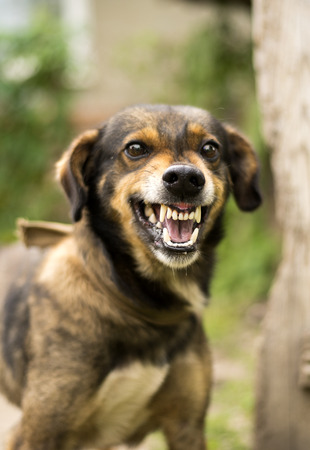 barking: Enraged aggressive, angry dog. Grin jaws with  fangs  ,  hungry,  drool. Stock Photo