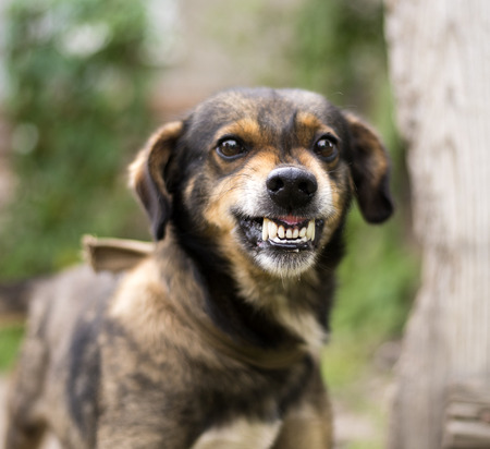 Enraged aggressive, angry dog. Grin jaws with  fangs  ,  hungry,  drool. 写真素材