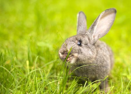 美しい夏の日に緑の芝生の上の小さなウサギの若い。草の背景に灰色ウサギ。草を食べるうさぎ 写真素材 - 60811020