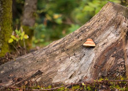 saprophyte: Tree bark with Fomes fomentarius (tinder fungus) closeup