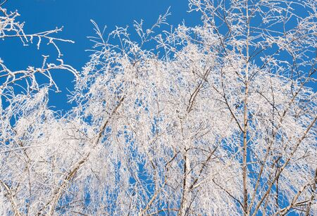 branching:  Branching tree covered with snow on the side of the road on a background of blue sky and clouds. Winter trees. Frost on a Tree branches. Frosty winter day. Winter landscape. Frost frost on the trees.