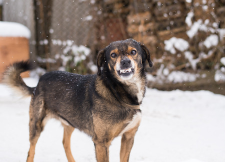 enraged: Angry  dog shows teeth. Pets. Wicked aggressive dog. Angry dangerous  dog protection barking attacks. best friend , Enraged aggressive, angry dog. Grin jaws with fangs , hungry, drool. Stock Photo