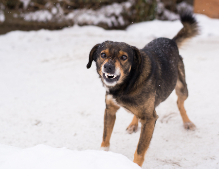 enraged:  Barking enraged angry dog outdoors. The dog looks aggressive, dangerous and may be infected by rabies. Angry dog in the snow. Furious dog. Angry and aggressive dog  showing teeth Stock Photo