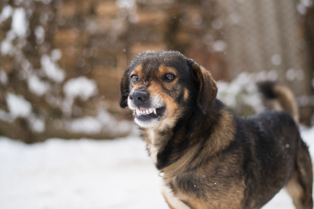 Angry  dog shows teeth. Pets. Wicked aggressive dog. Angry dangerous  dog protection barking attacks. best friend , Enraged aggressive, angry dog. Grin jaws with fangs , hungry, drool. Stock Photo