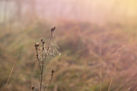 Drops of dew on cobweb of the dry grass