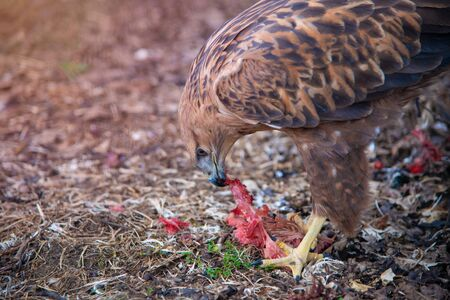 Long-legged Buzzard (Buteo rufinus) close up portrait. Wild bird in nature feeds on meat.
