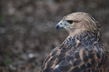 Long-legged Buzzard (Buteo rufinus) close up portrait. Wild bird in nature with blurred  forest background. Copy space. Space for text. Banner