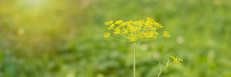 Dill plant and flower as green background Stock fotó