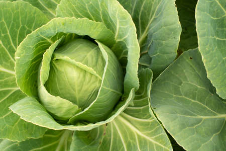 Cabbage head in growth at vegetable garden