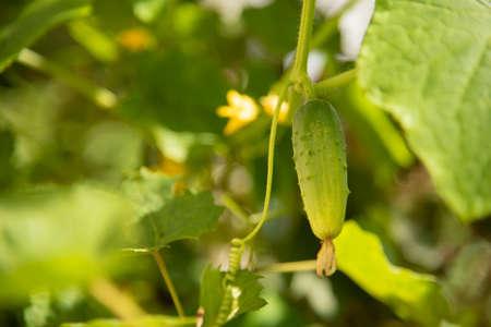 green cucumber on bush in garden close up