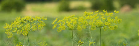 Dill plant and flower as green background Stock Photo