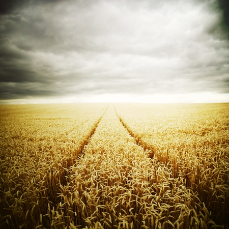 Wheat field in the storm