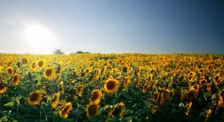 Sunflower Feld Lizenzfreie Bilder