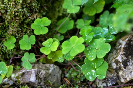 Three leaf clovers closeup in mountains