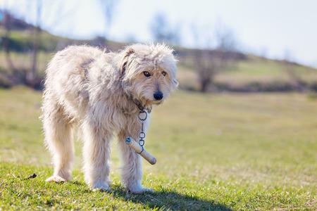 carpathian mountains: Romanian shepherd dog