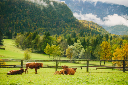 Cows grazing. Beautiful green grass meadow with wooden fence in the Alps. Colorful scenic background. Banco de Imagens