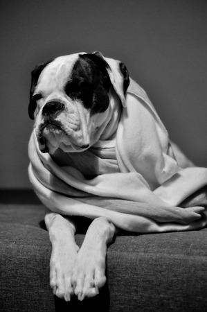 boxer dog: perro boxer blanco