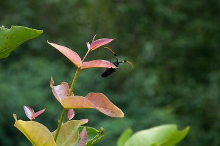 elongation: Happy bug, Aristobia horridula Stock Photo