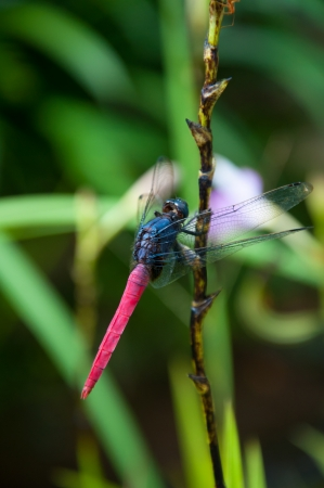 trithemis: The colorful dragonfly in natural area Stock Photo