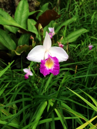 taxonomy: The wild soil orchid