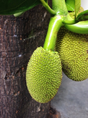 taxonomy: The young jack fruit