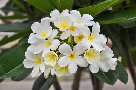 taxonomy: Plumeria
