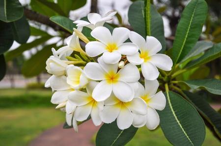 taxonomy: White plumeria Stock Photo