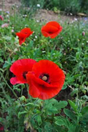 opioid: Poppy flowers