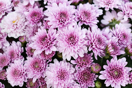 Cluster of purple Chrysanthemum Stock Photo