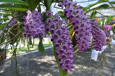 impression: The rare species Asian orchid