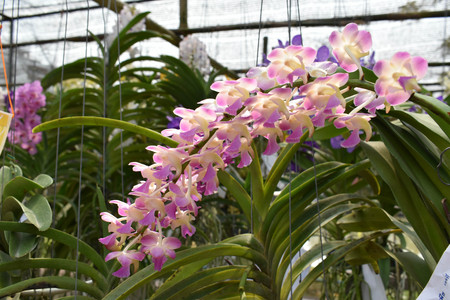The rare species Asian orchid in Chiangmai, Northern Thailand
