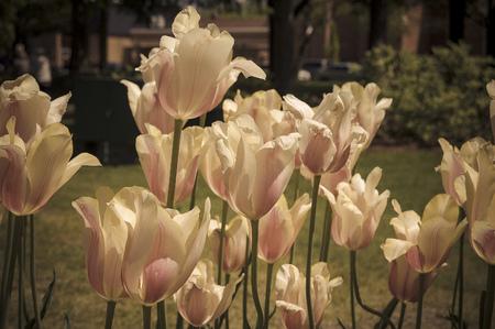 Room en roze tulpen