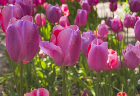 Roze tulpen Stockfoto