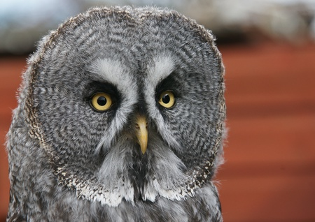 Great Grey Owl - strix nebulosa Stock Photo - 12819520