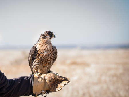 Falcon after a flight of a training flight with remains of its prey in its beak. High quality photo