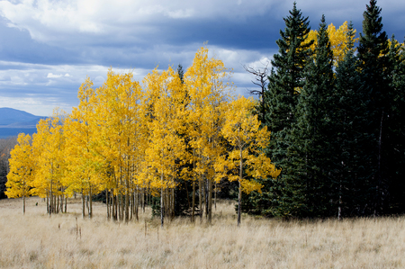 aspen leaf: A grove of Aspen and Pine trees at the foot of Snowbowl, Arizona.