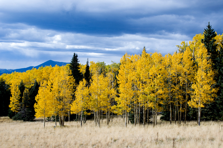 aspen leaf: Pine trees mixed with aspen trees line a grove at the foot of Snowbowl, Arizona.