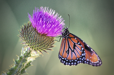 A queen butterfly hangs on to a milk thistle flower with green background.