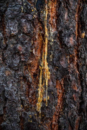 Tree sap flowing down a tree.
