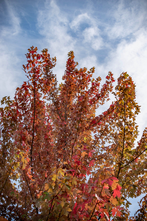Tree with red leaves and a blue sky with clouds.