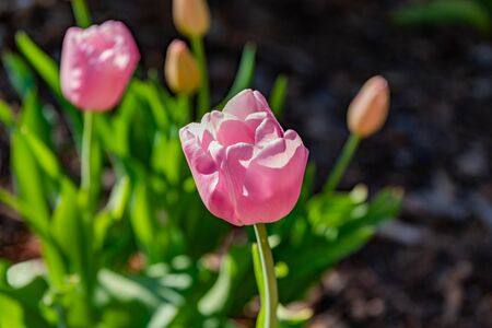 Close-up of Pink Tulips growing in a garden. Zdjęcie Seryjne