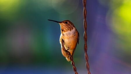 Rufous Hummingbird sitting on a wire. 免版税图像