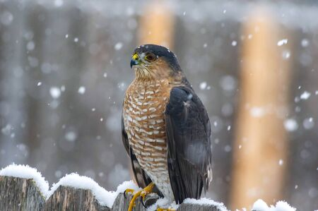 Coopers Hawk watching while sitting on a fence in the snow.